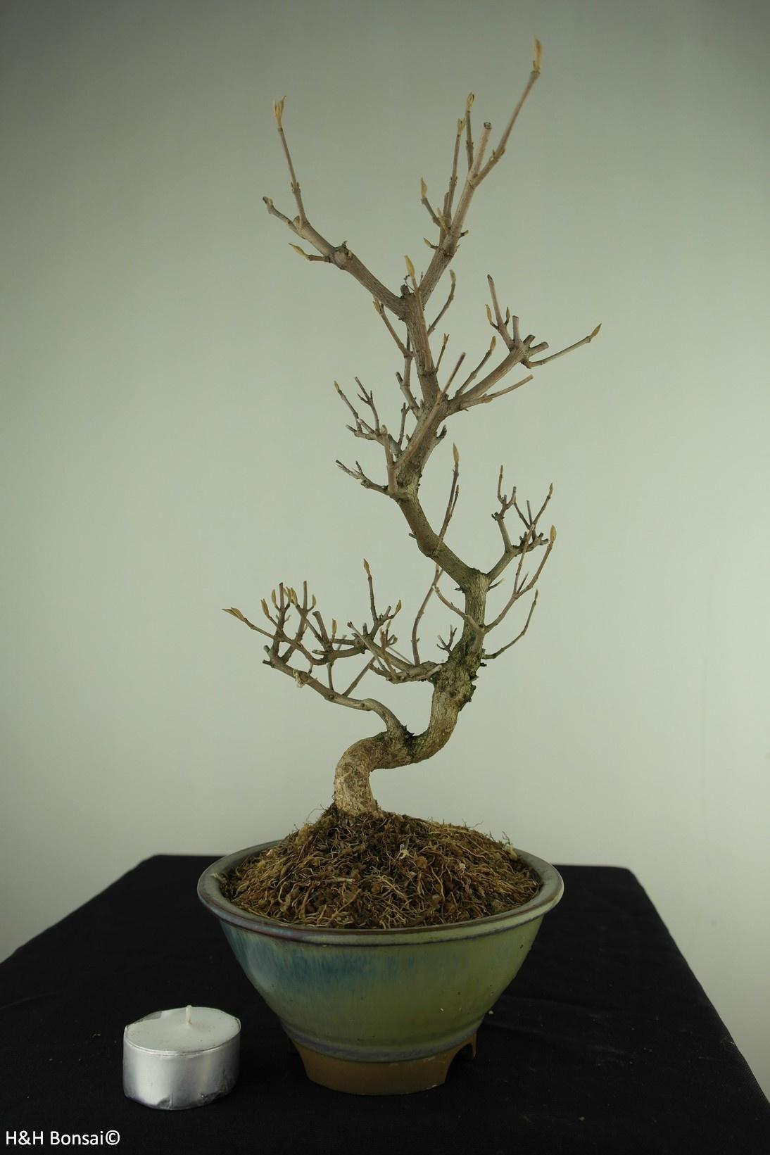 Bonsai Japanese Beautyberry Callicarpa japonica, no. 7768