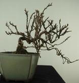 Bonsai Shohin Potentilla fruticosa, nr. 7776