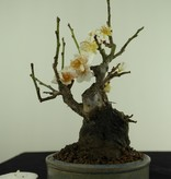 Bonsai Shohin Japanese Apricot, Prunus mume, no. 7779