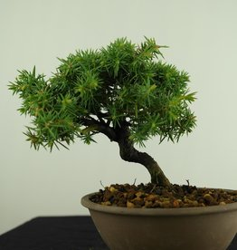 Bonsai Shohin Juniperus rigida, Jeneverbes, nr. 7787
