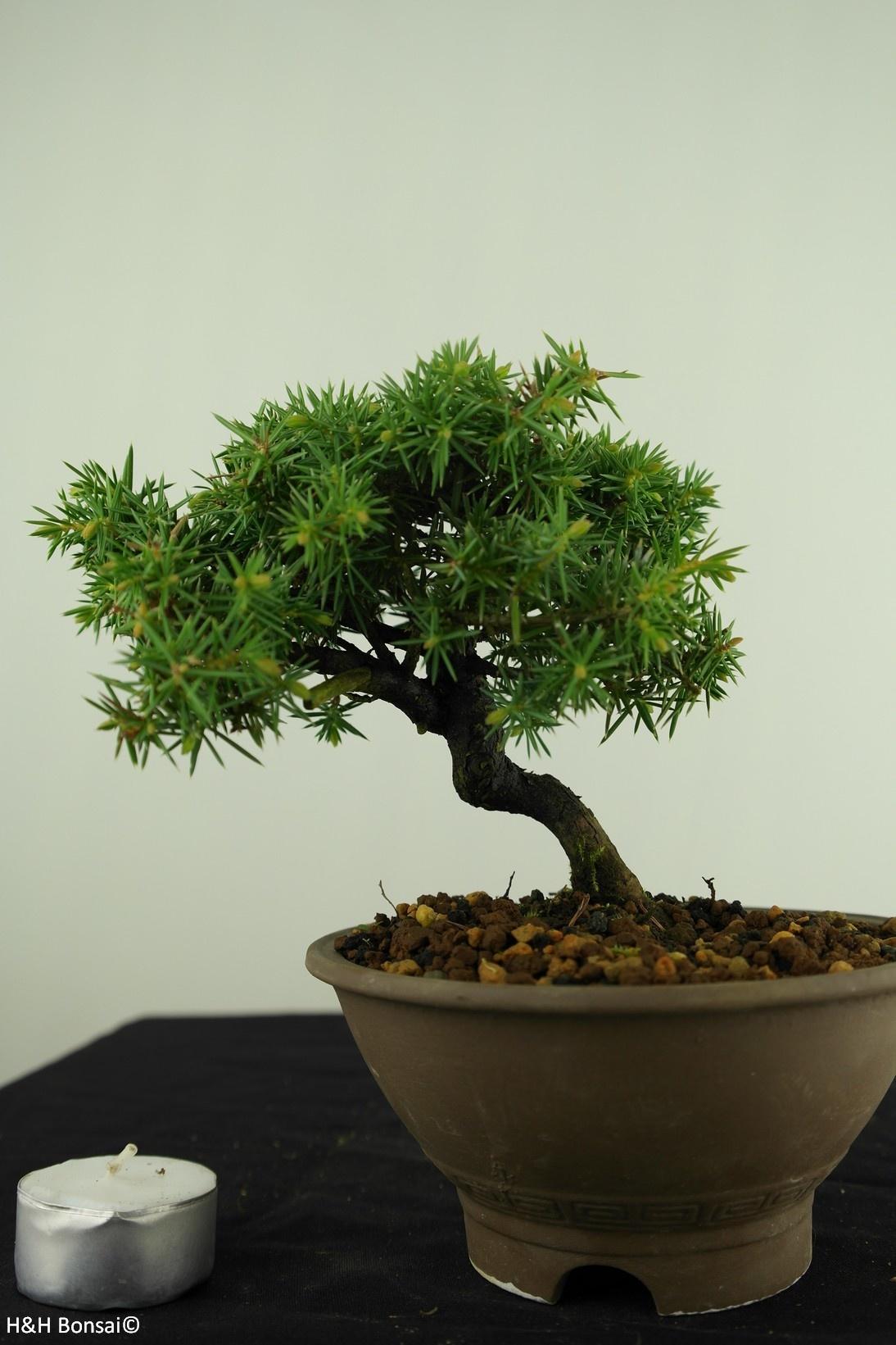 Bonsai Shohin Juniperus rigida, Jeneverbes, nr. 7787