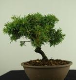 Bonsai Shohin Igel Wacholder, Juniperus rigida, nr. 7787