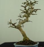 Bonsai Shohin Lagerstroemia, nr. 7788