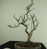 Bonsai Shohin Japanese Winterberry, Ilex serrata, no. 7789