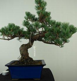 Bonsai Pinus pentaphylla, Japanse witte den, nr. 7802A