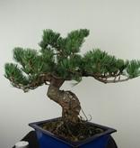 Bonsai Japanese White Pine, Pinus pentaphylla, no. 7802A