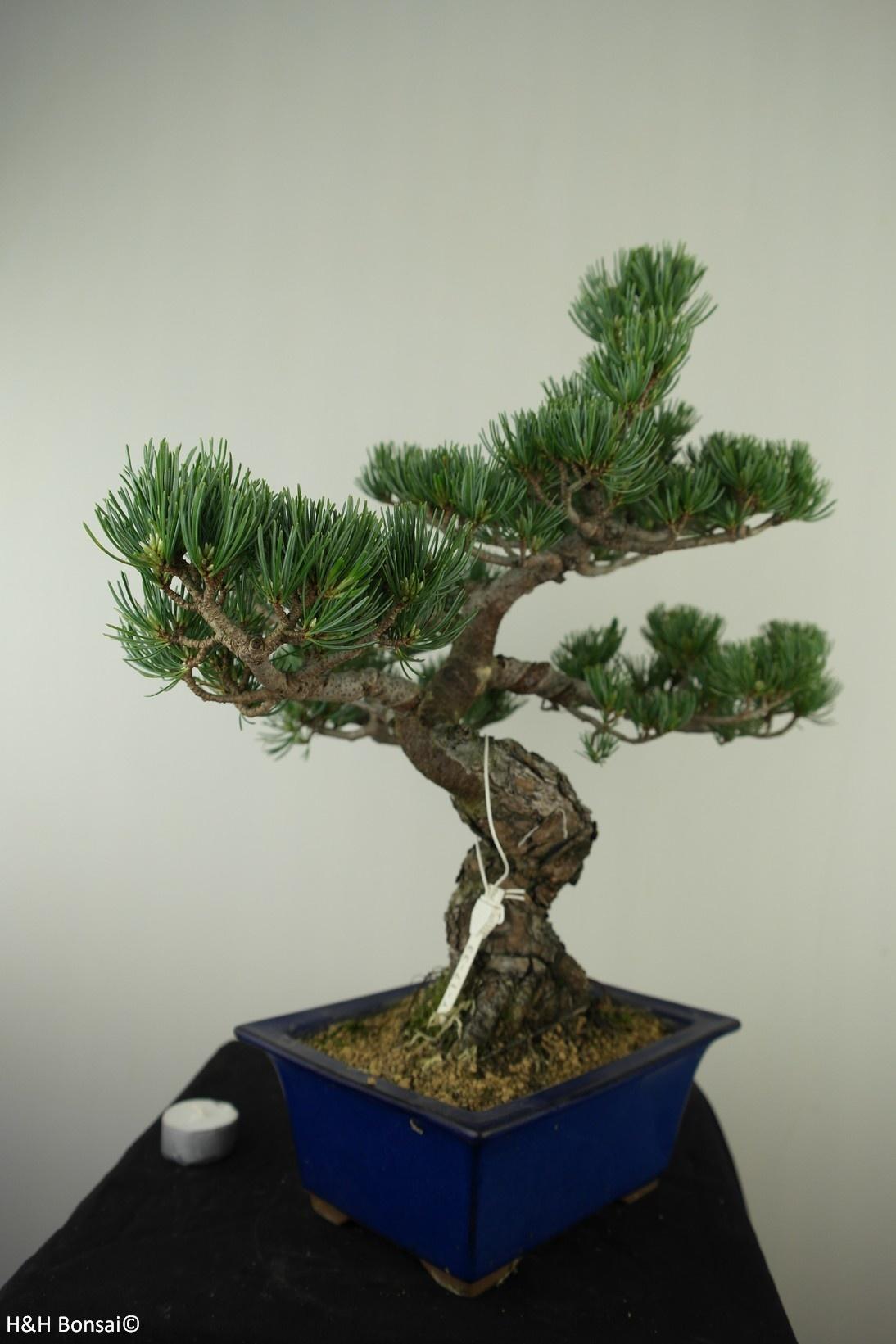 Bonsai Pinus pentaphylla, Japanse witte den, nr. 7803