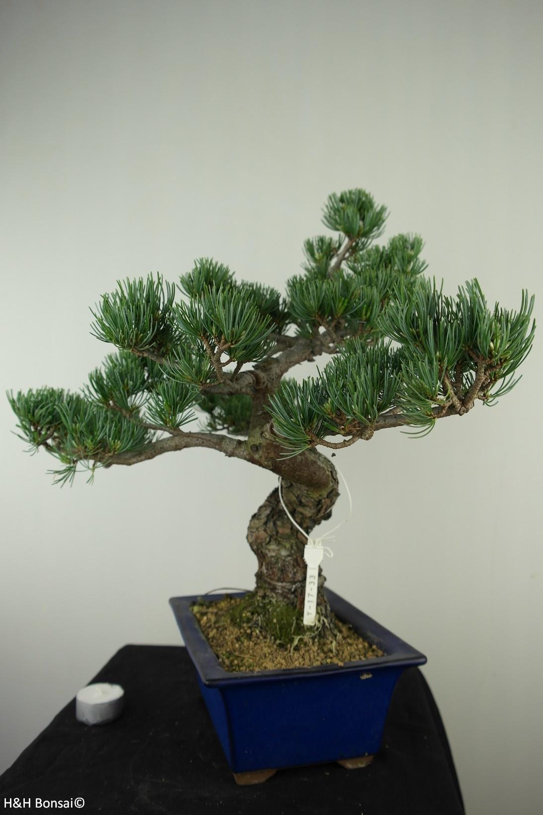Bonsai Japanese White Pine, Pinus pentaphylla, no. 7803