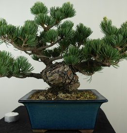 Bonsai Japanese White Pine, Pinus pentaphylla, no. 7804