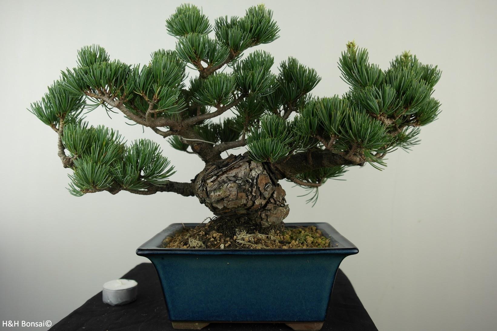 Bonsai Japanese White Pine Pinus Pentaphylla No 7804 Www Henhbonsai Nl