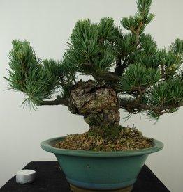 Bonsai Pinus pentaphylla, Japanse witte den, nr. 7805