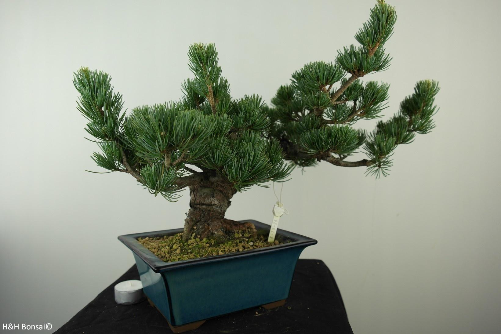 Bonsai Japanese White Pine, Pinus pentaphylla, no. 7807