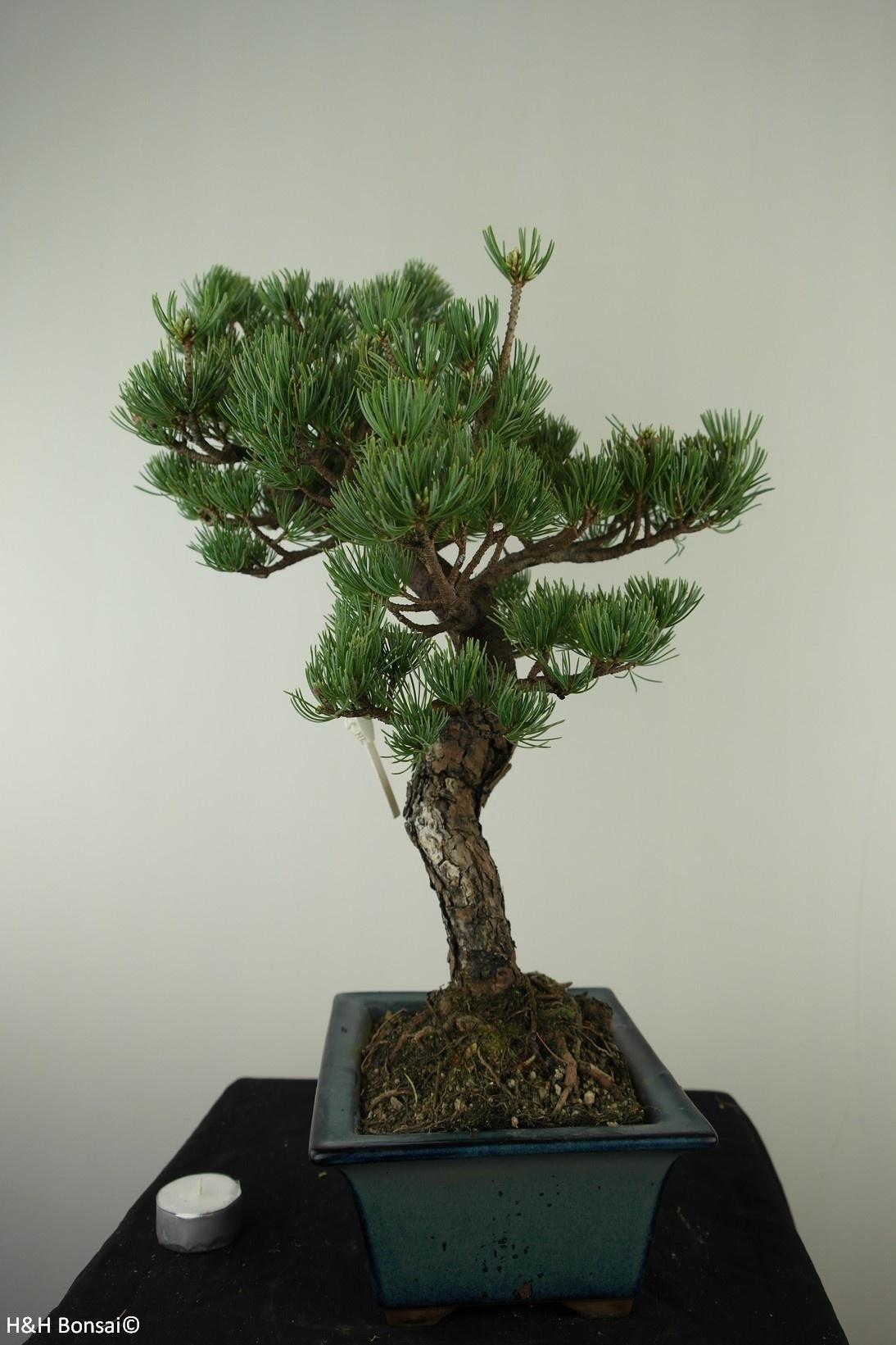 Bonsai Pinus pentaphylla, Japanse witte den, nr. 7809