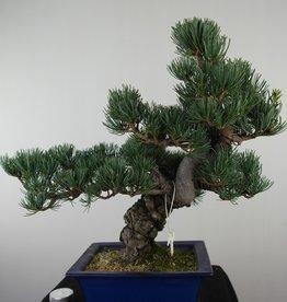 Bonsai Pinus pentaphylla, Japanse witte den, nr. 7810