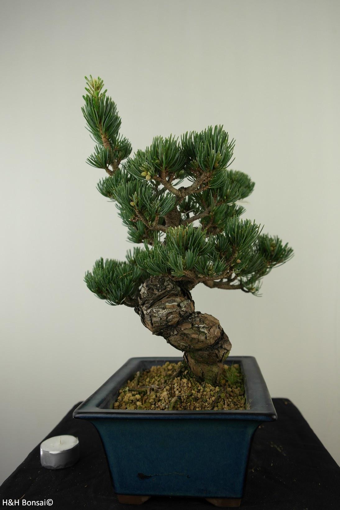 Bonsai Pinus pentaphylla, Japanse witte den, nr. 7811