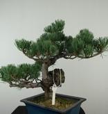 Bonsai Pinus pentaphylla, Japanse witte den, nr. 7812