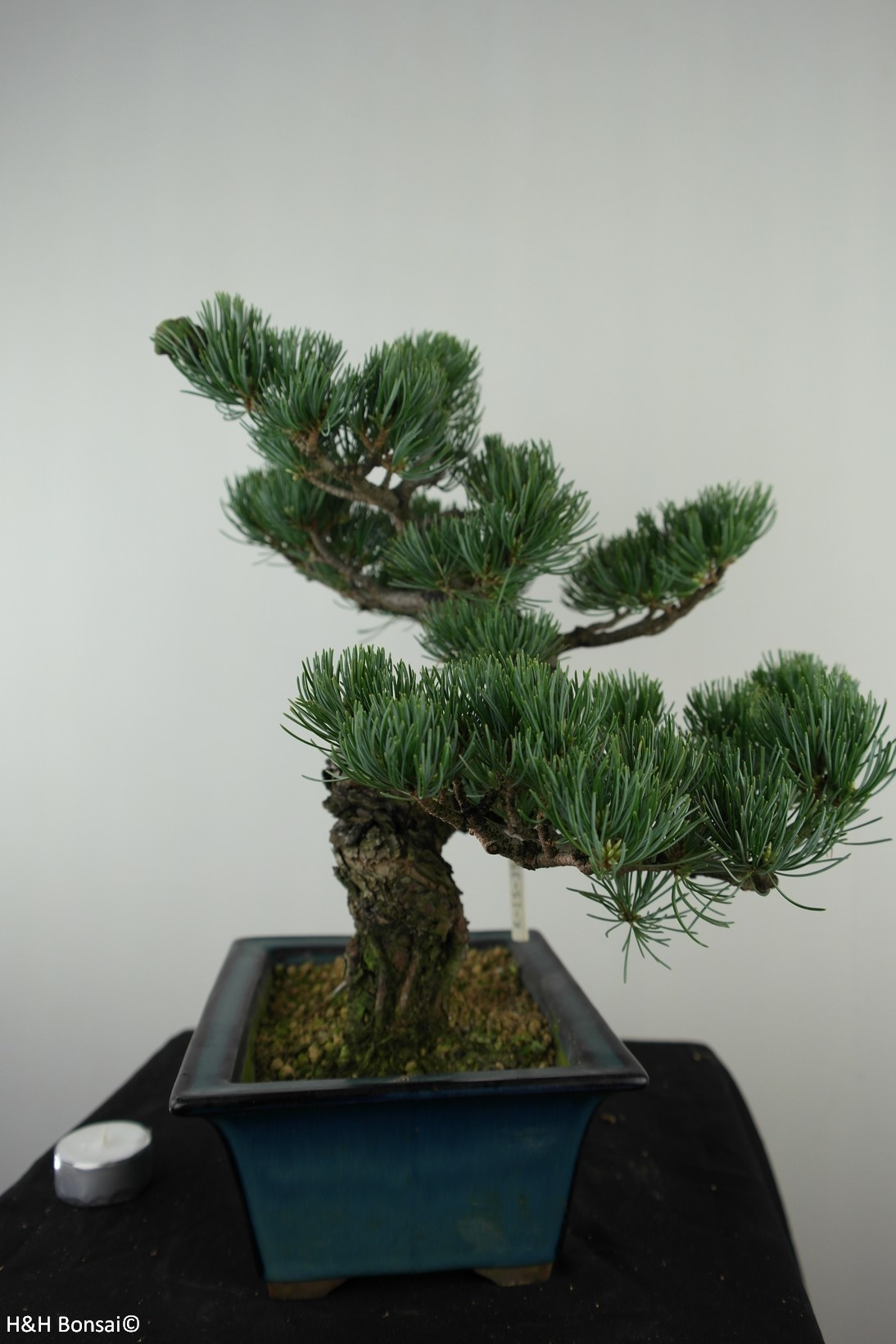 Bonsai Japanese White Pine, Pinus pentaphylla, no. 7812