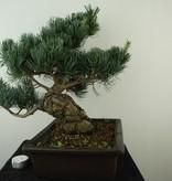 Bonsai Pinus pentaphylla, Japanse witte den, nr. 7813