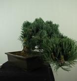 Bonsai Pin blanc du Japon, Pinus pentaphylla, no. 7814
