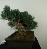 Bonsai Japanese White Pine, Pinus pentaphylla, no. 7814