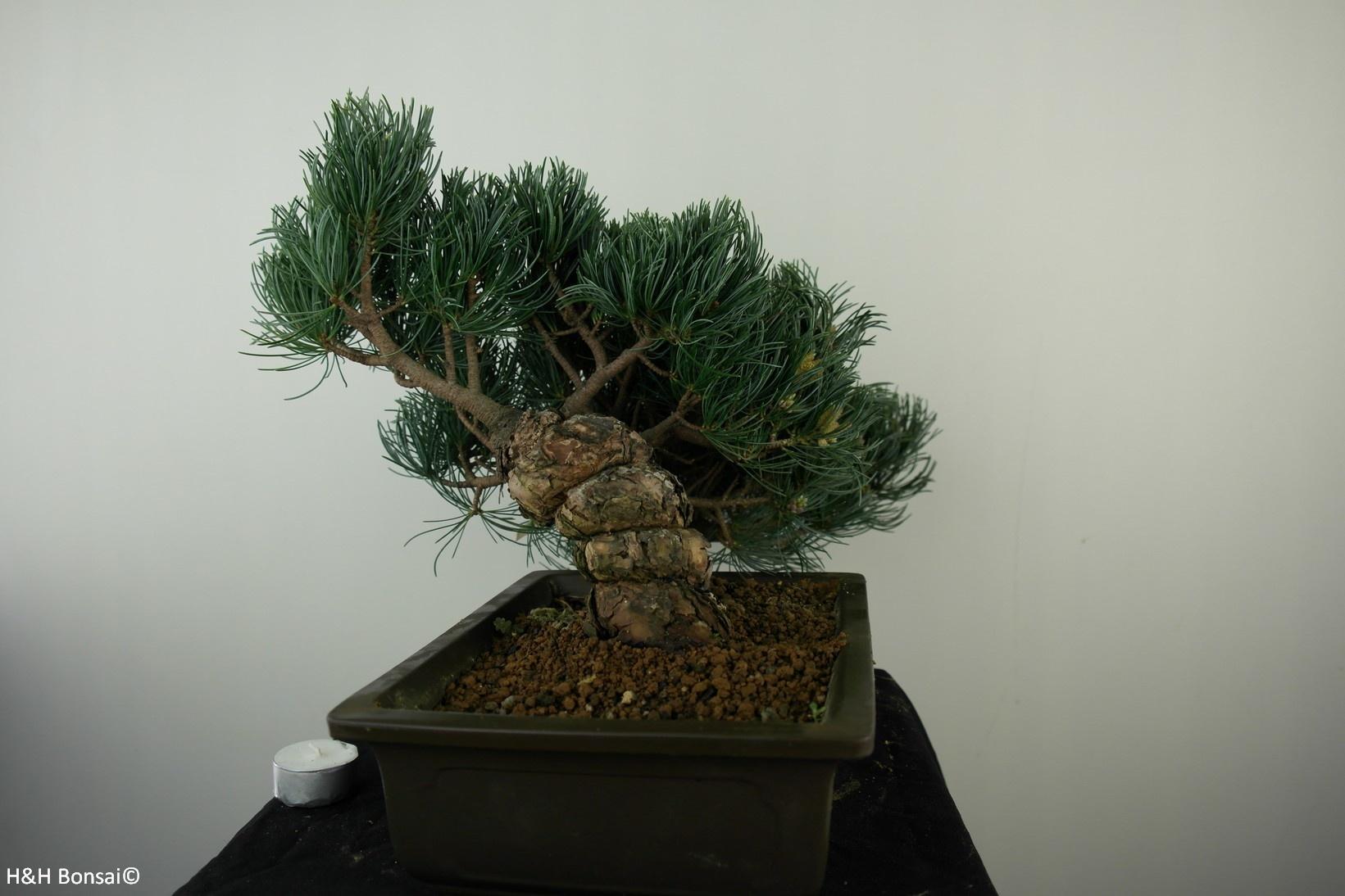 Bonsai Mädchenkiefer, Pinus pentaphylla, nr. 7814