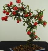 Bonsai Shohin Cotoneaster, Dwergmispel, nr. 7786