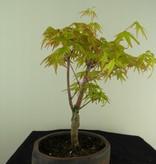 Bonsai Acer palmatum Orange Dream, nr. 7382
