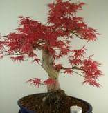 Bonsai Jap. Fächerahorn, Acer palmatum, nr. 7765