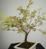 Bonsai Acer palmatum Batafurai, Butterfly, nr. 7373