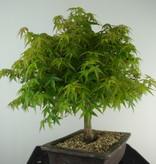 Bonsai Jap. Fächerahorn kiyohime, Acer palmatum kiyohime, nr. 7534