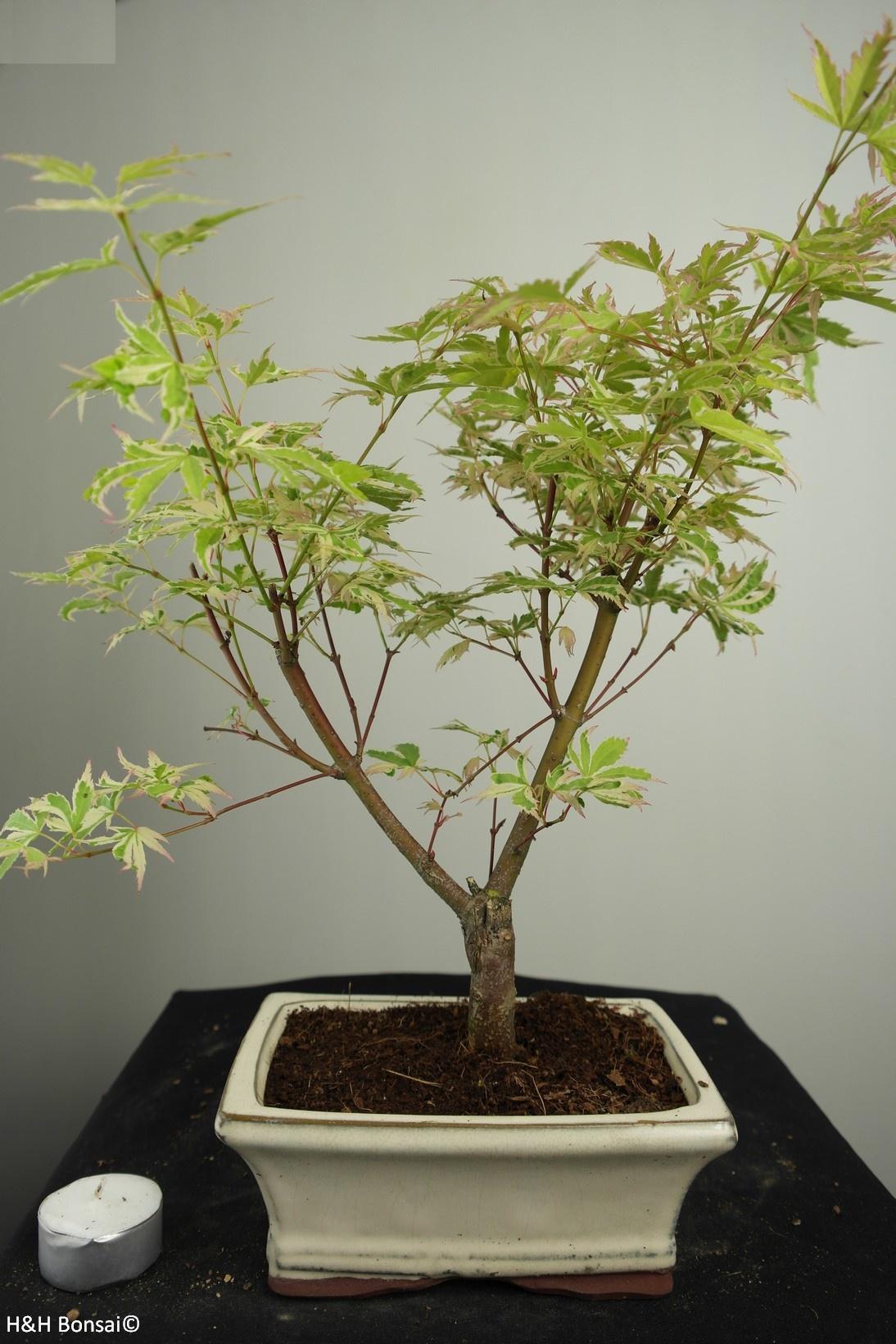Bonsai Acer palmatum Batafurai, Butterfly, nr. 7547