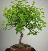 Bonsai Steinweichsel, Prunus mahaleb, nr. 7668