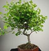 Bonsai Faux merisier, Prunus mahaleb, no. 7668