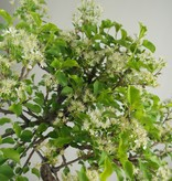 Bonsai Prunus mahaleb, Weichselkers, nr. 7669