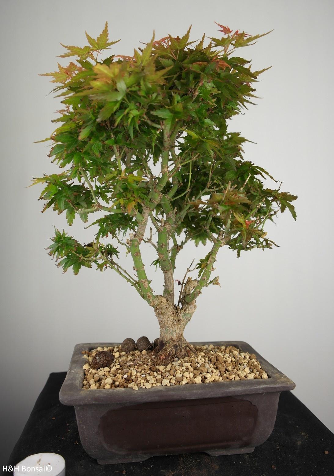 Bonsai Acer palmatum Kotohime, Japanse esdoorn, nr. 7694