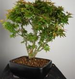 Bonsai Acer palmatum Kotohime, Japanse esdoorn, nr. 7695