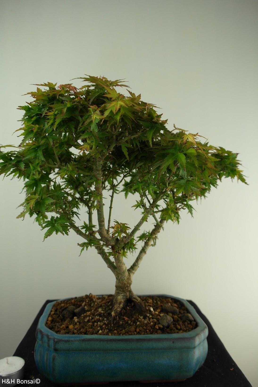 Bonsai Japanese Maple Kotohime, Acer palmatum Kotohime, no. 7696