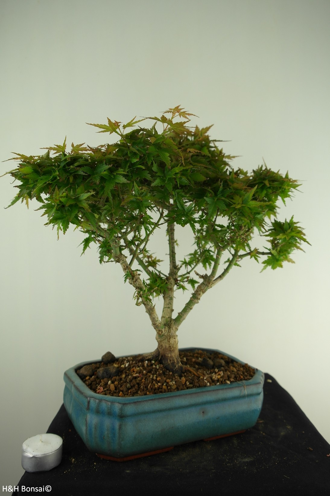 Bonsai Acer palmatum Kotohime, Japanse esdoorn, nr. 7696