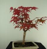 Bonsai Acer palmatum deshojo, Japanse esdoorn, nr. 7723