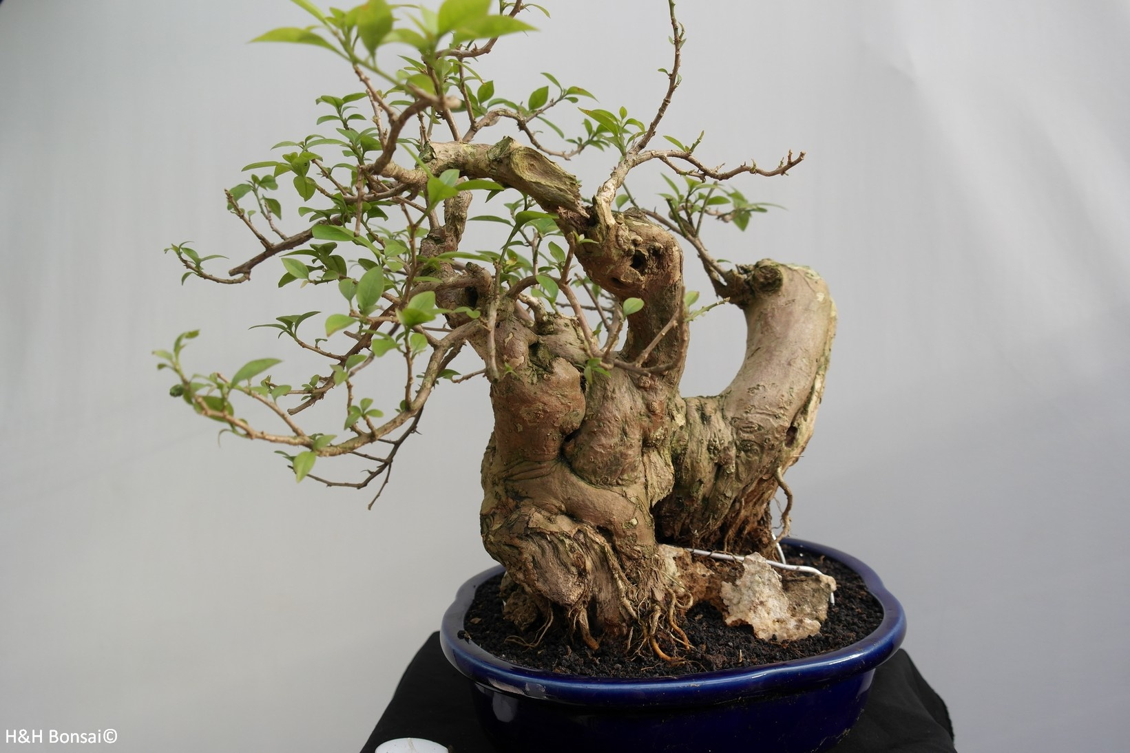 Bonsai Bougainvillea glabra, nr. 7816