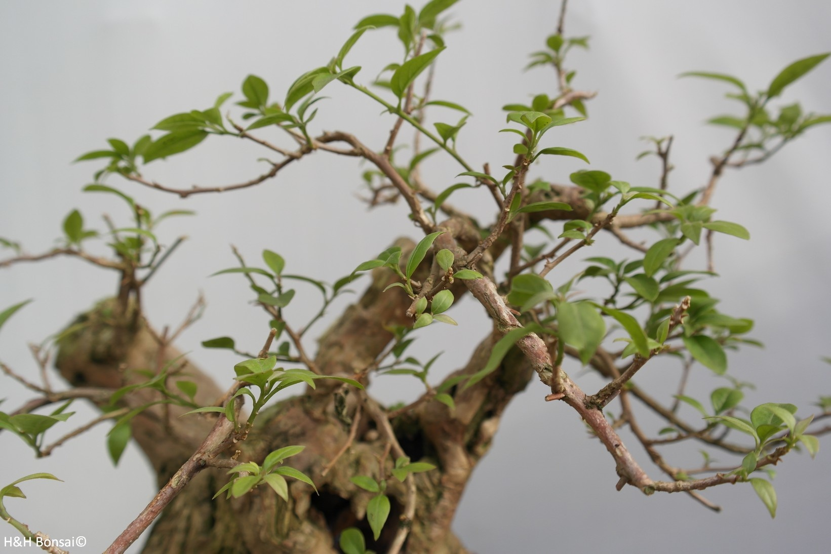 Bonsai Drillingsblume, Bougainvillea glabra, nr. 7816