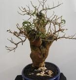 BonsaiBougainvillea glabra, nr. 7817