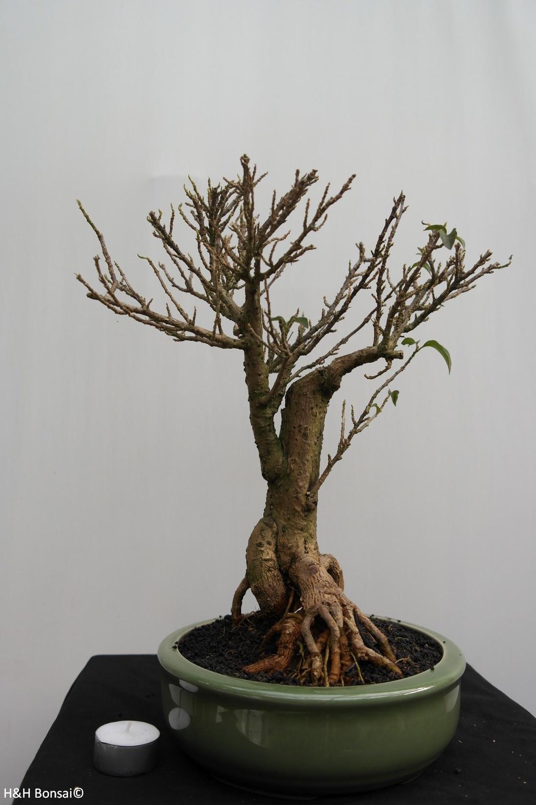 BonsaiBougainvillea glabra, nr. 7819