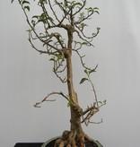 BonsaiBougainvillea glabra, no. 7820