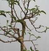 BonsaiBougainvillea glabra, nr. 7820