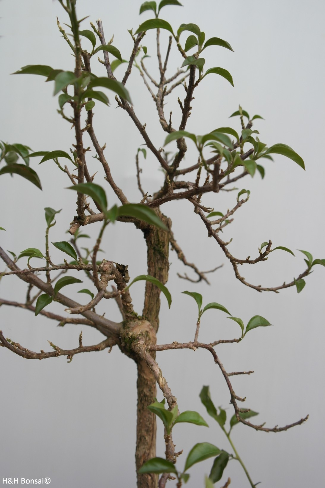 Bonsai Drillingsblume,Bougainvillea glabra, nr. 7820