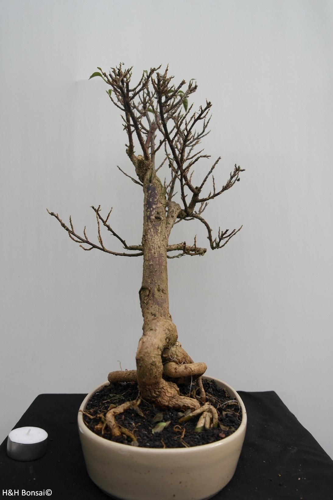 Bonsai Bougainvillea glabra, nr. 7821