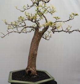 BonsaiBougainvillea glabra, variegata, nr. 7824