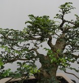 Bonsai Sophora, Kalimantan, nr. 7825