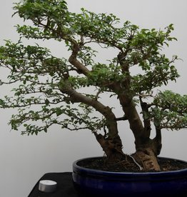 Bonsai Privet, Ligustrum sinense, no. 7828